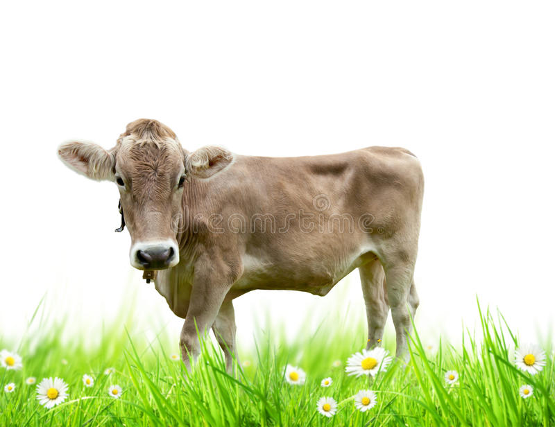 Vaca alpina imagens de stock