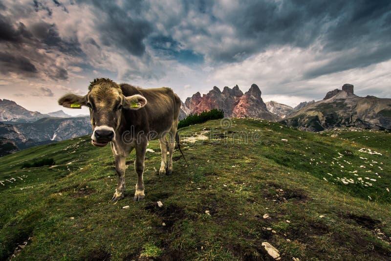 Vaca alpina em um medow em Itália imagem de stock royalty free