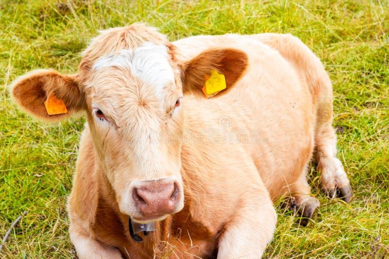 Vaca alpina en su pasto fotos de archivo