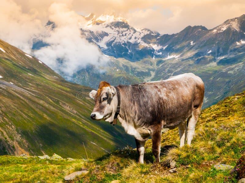 Vaca alpina que pasta en las montañas fotos de archivo libres de regalías