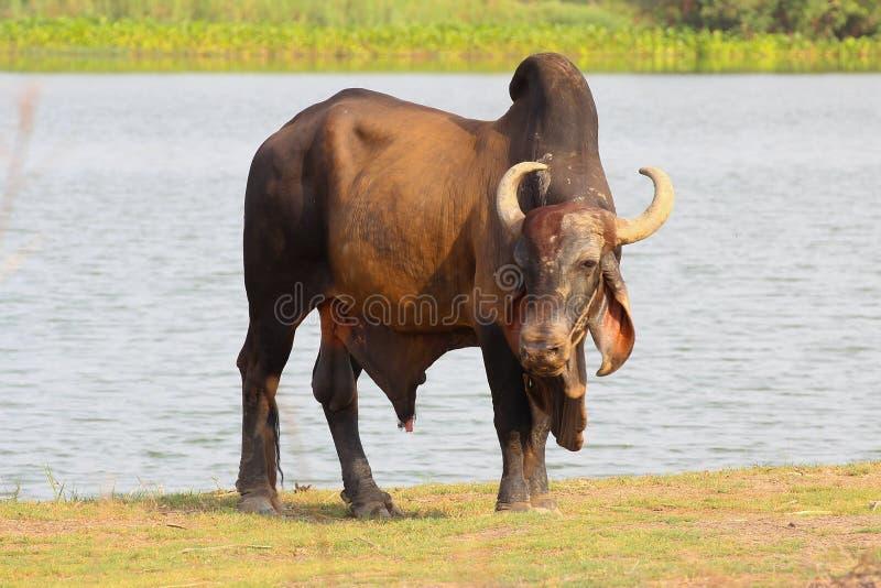 Vaca asiática fotografia de stock