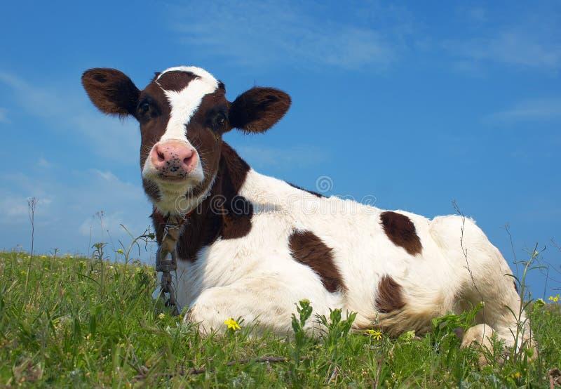 Vaca atenta fotografia de stock
