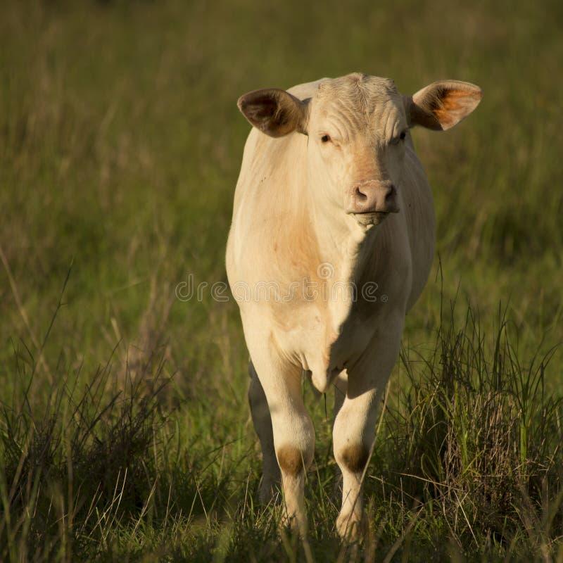 Vaca australiana imagens de stock royalty free