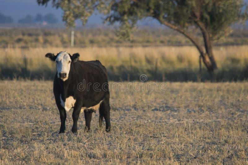 Vaca Baldfaced en el pasto fotos de archivo libres de regalías