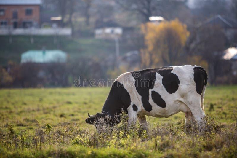 Vaca blanca y negra sana agradable con la ubre grande que pasta en hierba fresca del campo verde del pasto en día soleado brillan fotos de archivo
