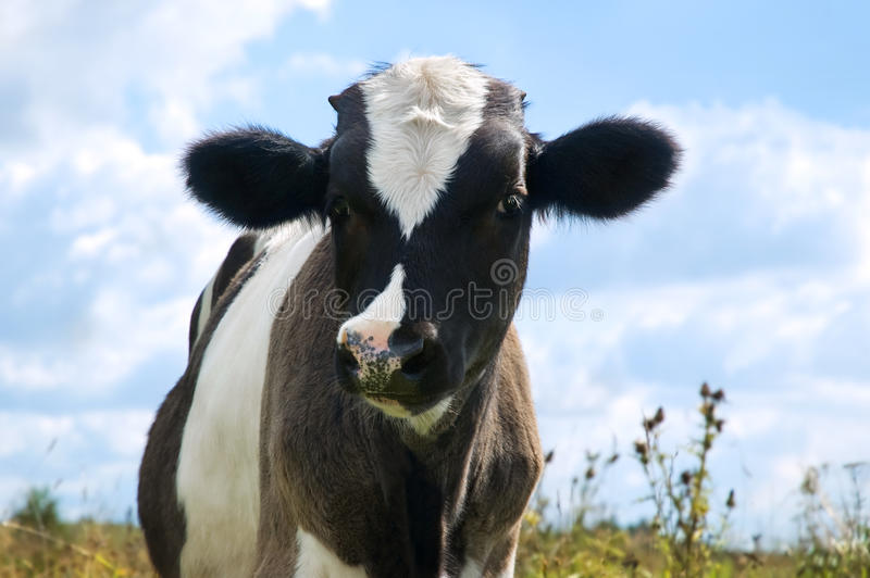 Vaca blanco y negro fotografía de archivo libre de regalías