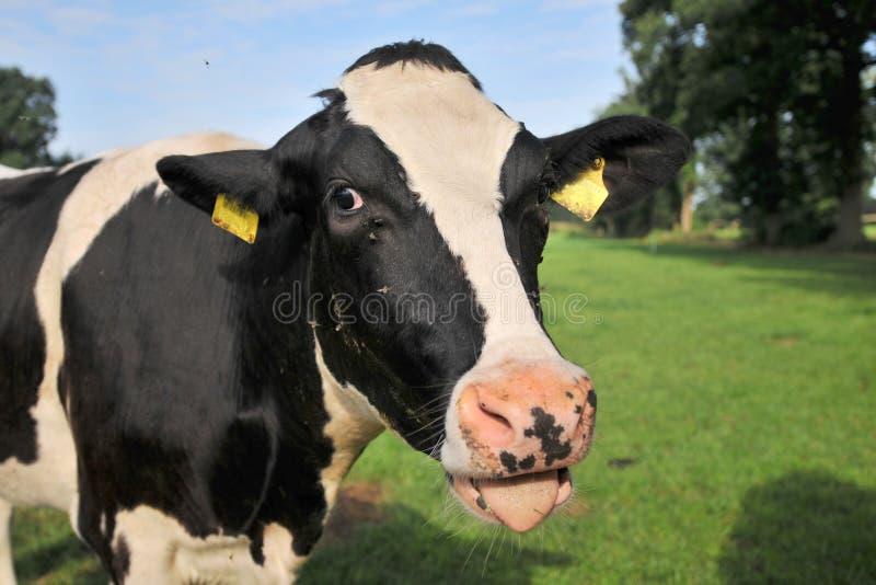 Vaca blanco y negro imagenes de archivo