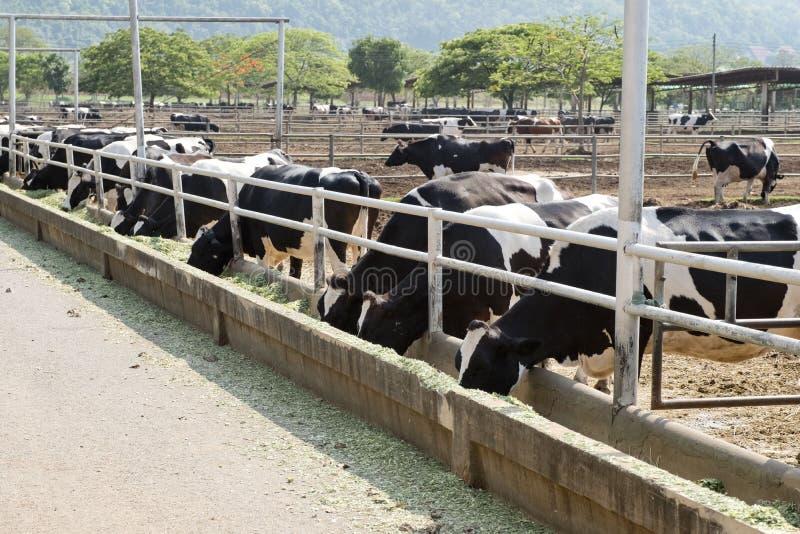 Vaca blanco y negro curiosa de Holstein fotos de archivo