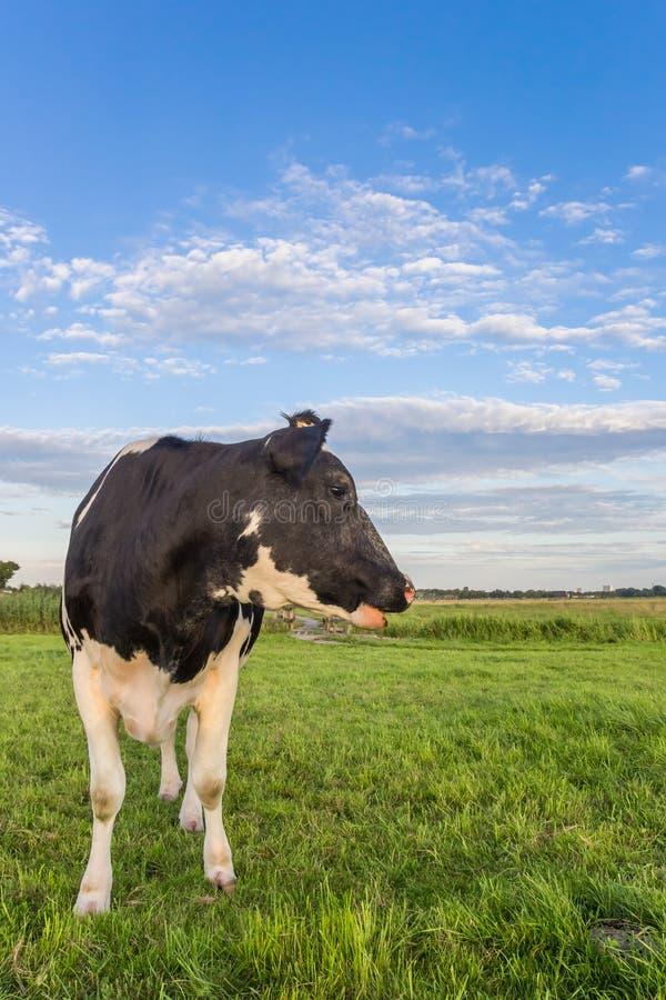 Vaca blanco y negro holandesa en los Países Bajos fotos de archivo