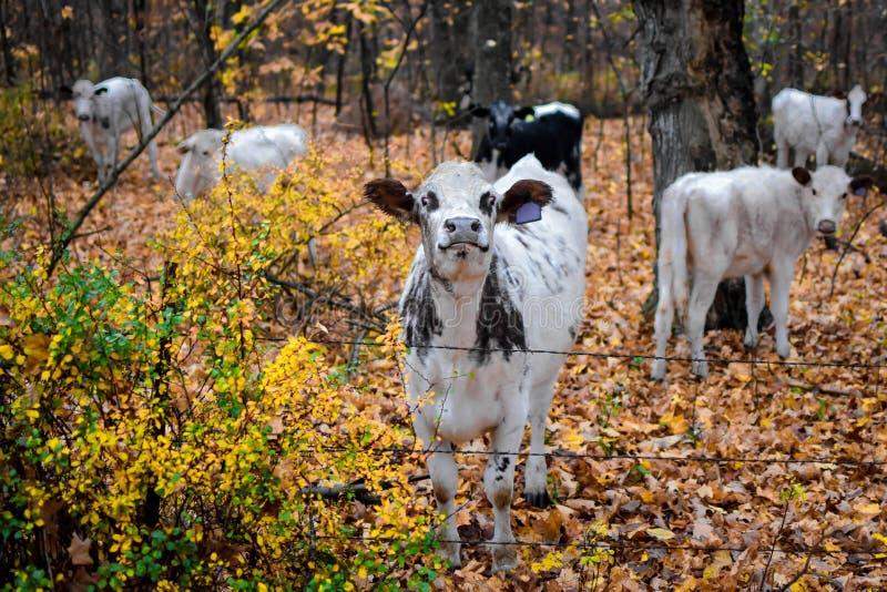 Vaca blanco y negro orgullosa en caída foto de archivo libre de regalías