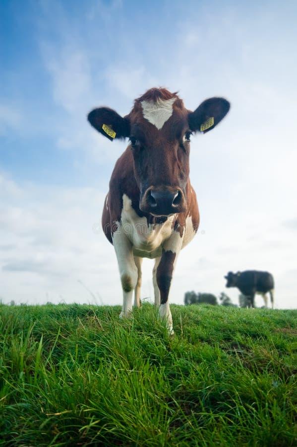 Vaca bonito do bebê fotografia de stock royalty free