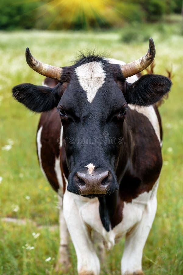 vaca bonito no pasto foto de stock royalty free