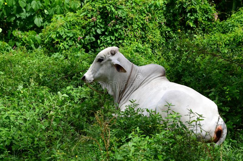 Vaca branca do brahman que descansa no campo gramíneo imagem de stock royalty free