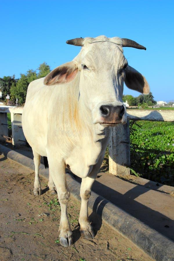 Vaca branca indiana fotos de stock royalty free