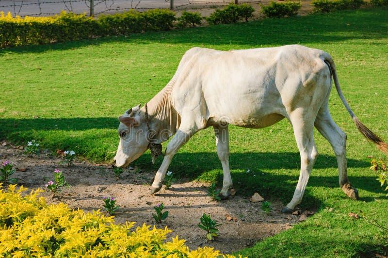 A vaca branca indiana está comendo a grama, Hampi, Índia imagens de stock