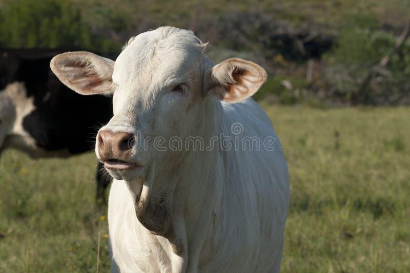 Vaca branca nova da raça do brâmane fotos de stock