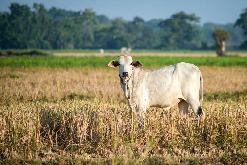 Vaca branca que pasta no pasto aberto imagem de stock