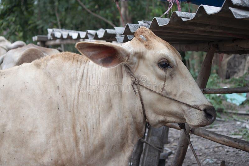 Vaca branca, Tailândia imagens de stock