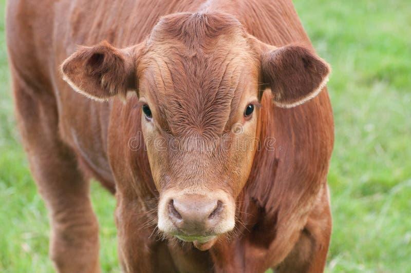 Vaca, Brown fotos de stock