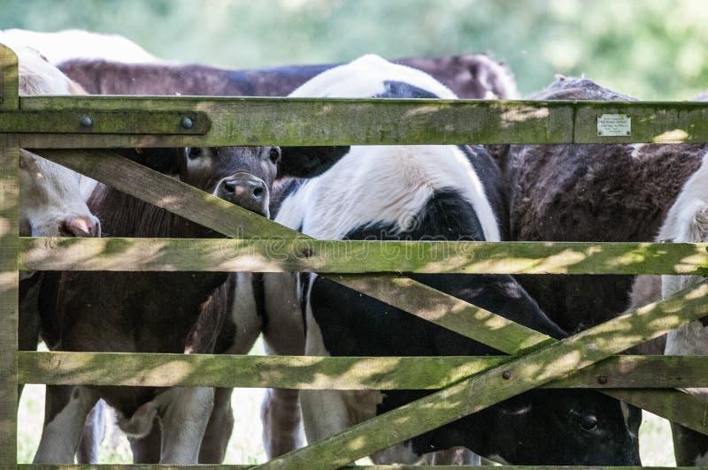 Vaca, Brown & branco em uma porta foto de stock