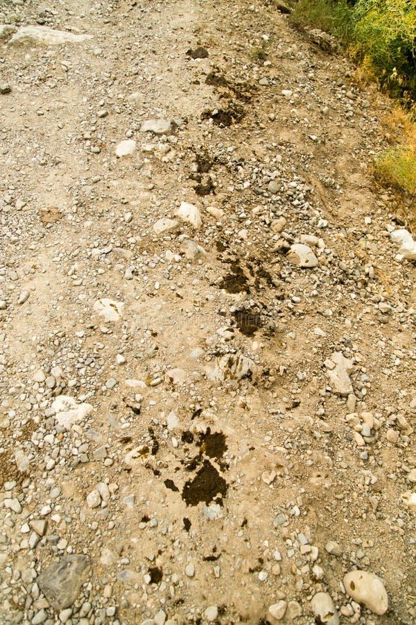 Vaca cagada en el camino foto de archivo libre de regalías