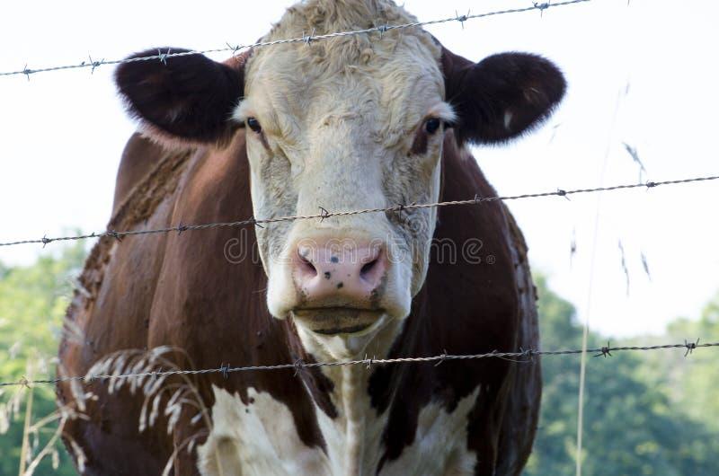 Vaca calma imagens de stock