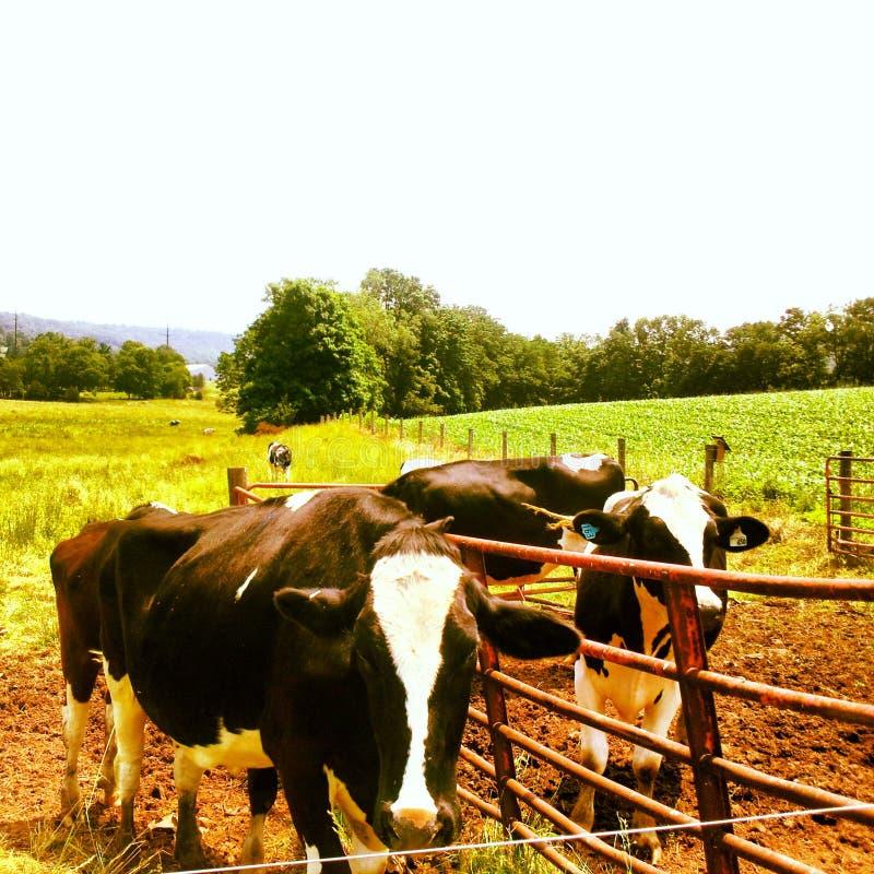 Vaca Chow Line fotos de archivo libres de regalías