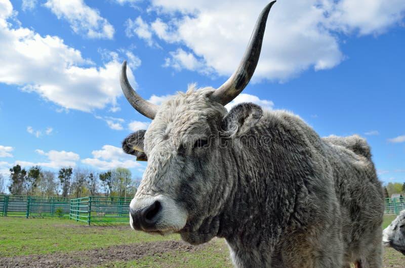 Vaca cinzenta húngara em uma pena em uma exploração agrícola de gado fotografia de stock