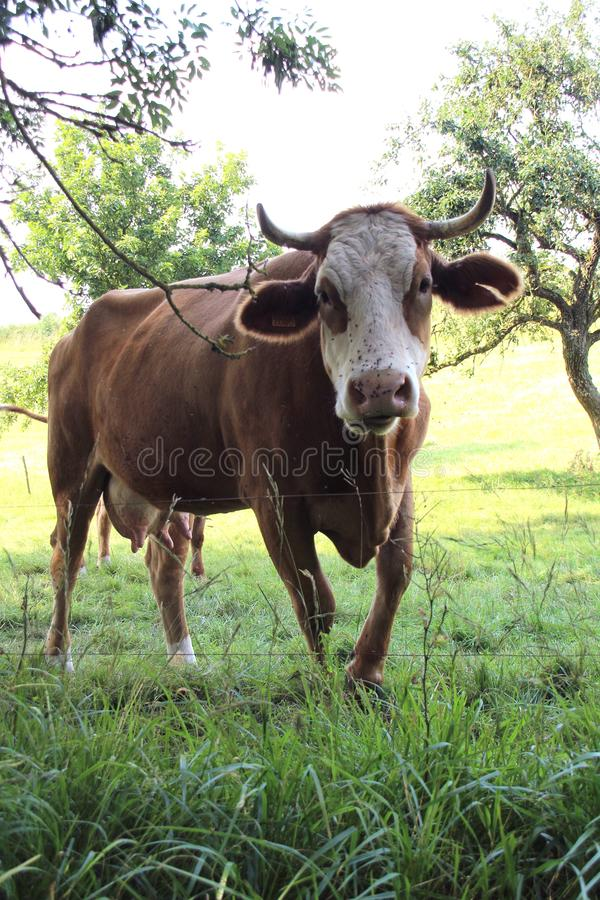 Vaca, close up em uma vaca fotos de stock royalty free