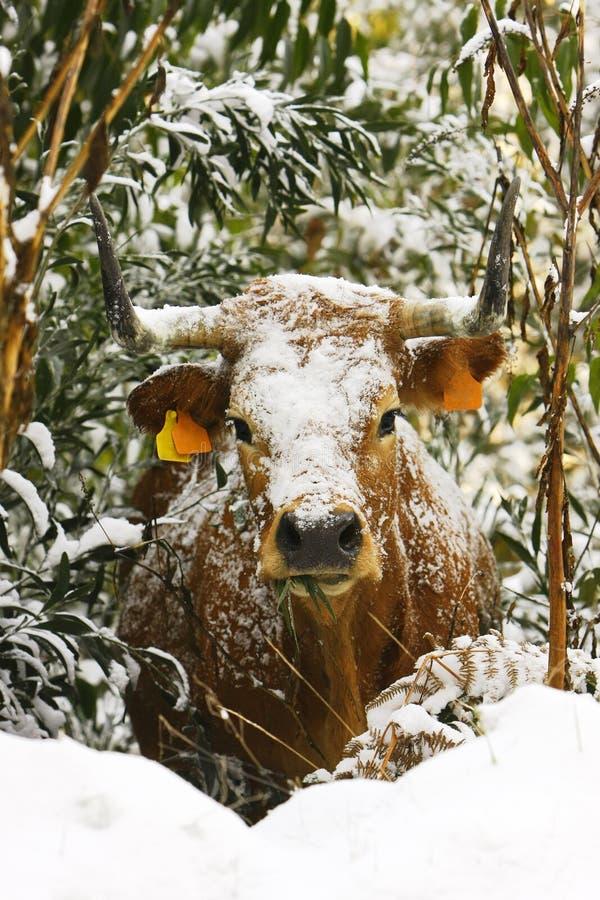 Vaca com neve no arbusto fotografia de stock