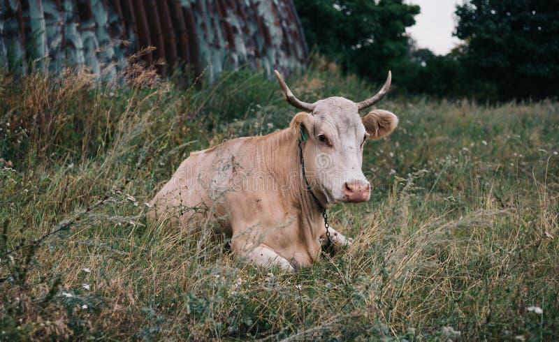Vaca com os chifres bonitos que sentam-se em um prado imagem de stock