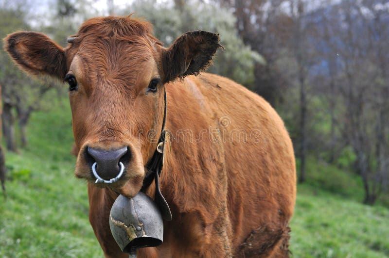 Vaca con la campana y el anillo fotos de archivo