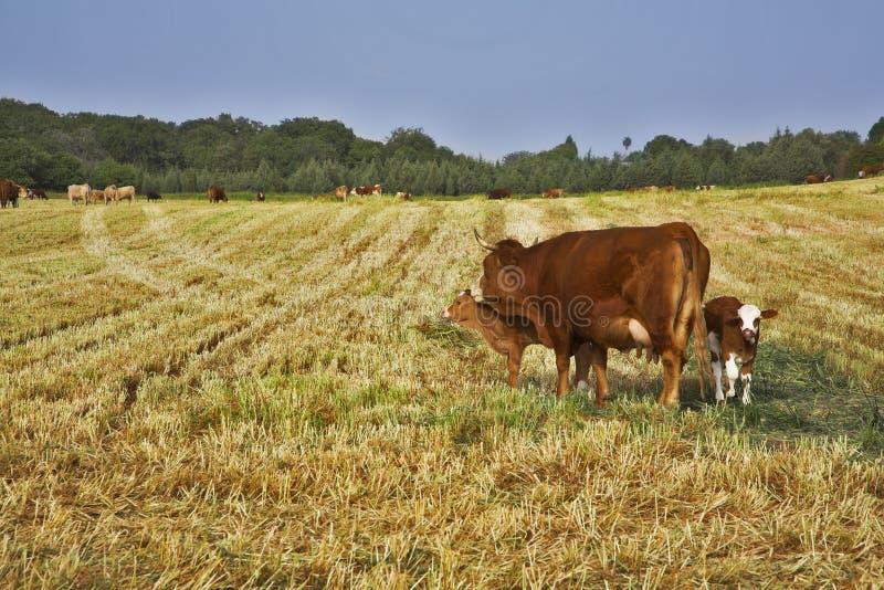 A vaca corpulent well-groomed com vitela imagem de stock royalty free