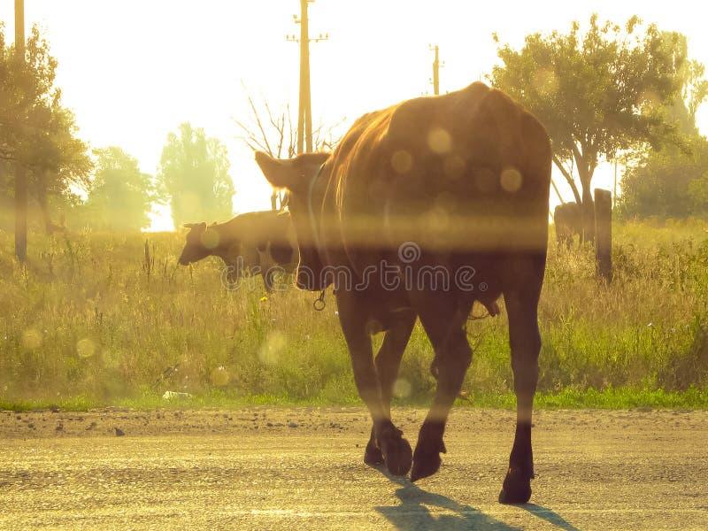 A vaca cruza a estrada na vila da floresta com polos e as árvores elétricos foto de stock