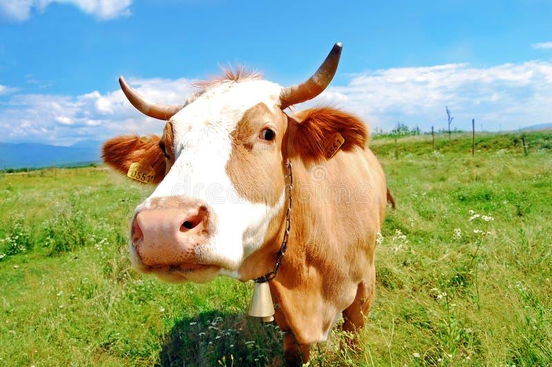 Vaca curiosa de la granja imagen de archivo