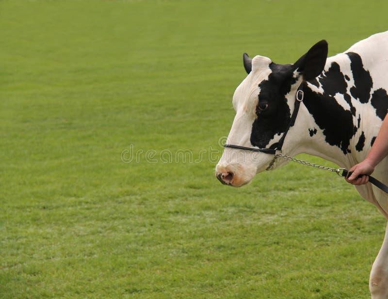 Vaca da exploração agrícola de leiteria de Holstein imagens de stock royalty free