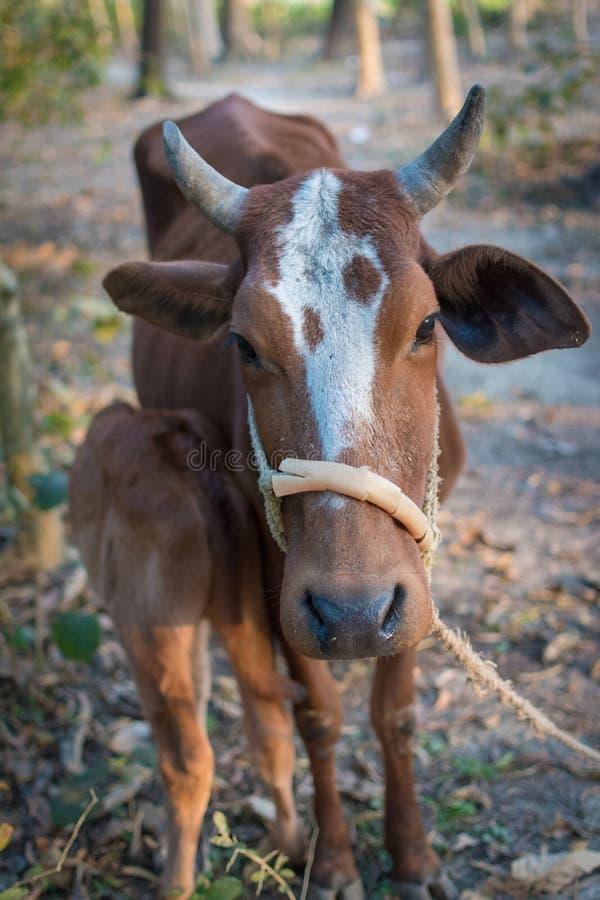 Vaca da mãe que alimenta seu bebê no campo, cultivando foto de stock
