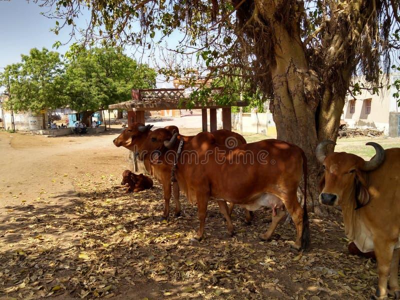 A vaca da vila imagem de stock