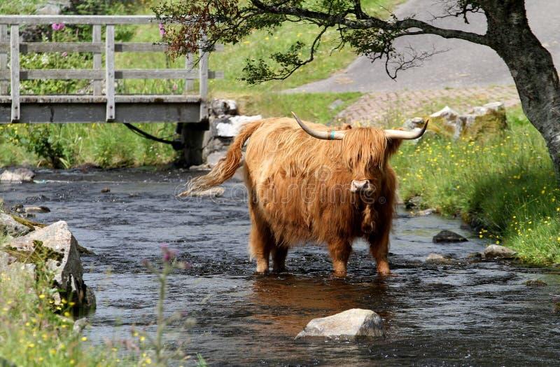 Vaca das montanhas foto de stock royalty free