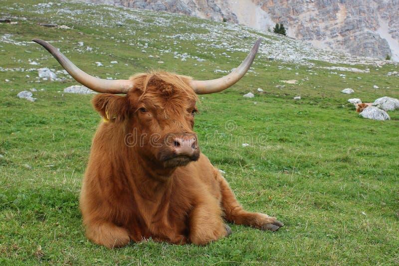 Vaca das montanhas em prados da montanha imagem de stock royalty free