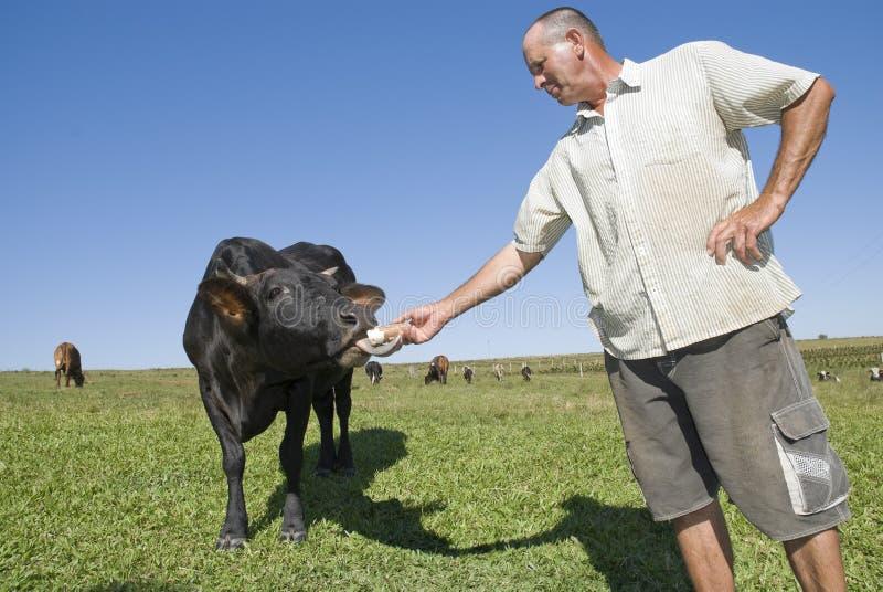 Vaca de alimentação do fazendeiro de leiteria. fotografia de stock royalty free