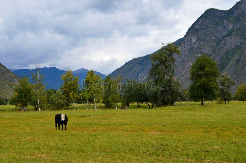 Vaca de Altai en un pasto de la monta?a fotos de archivo libres de regalías