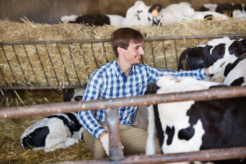 Vaca de aplauso do fazendeiro do homem imagem de stock royalty free