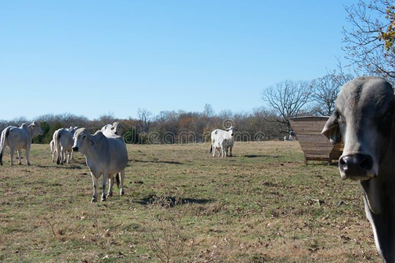 Vaca de Brahma que nutre sua vitela imagens de stock royalty free