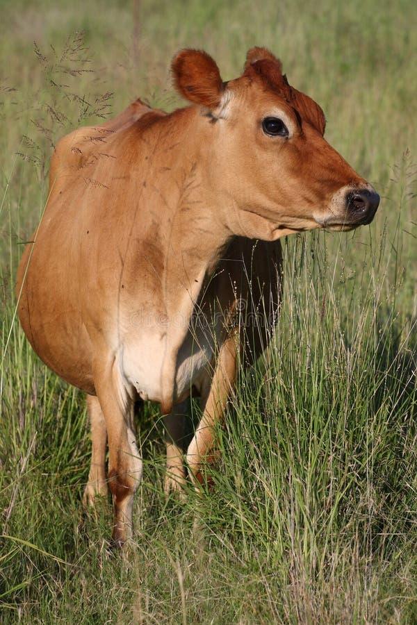 Vaca de Brown fotografia de stock royalty free