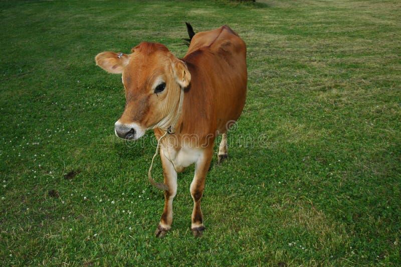 Vaca de Brown fotos de archivo