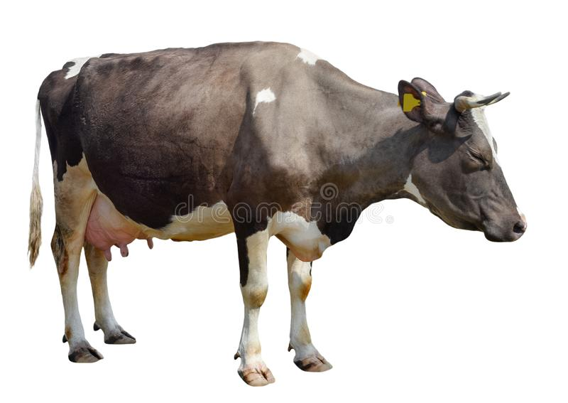 Vaca de Brown aislada en blanco Vaca manchada divertida integral fotografía de archivo