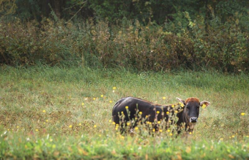 Vaca de Brown com golpes alaranjados em um pasto imagem de stock