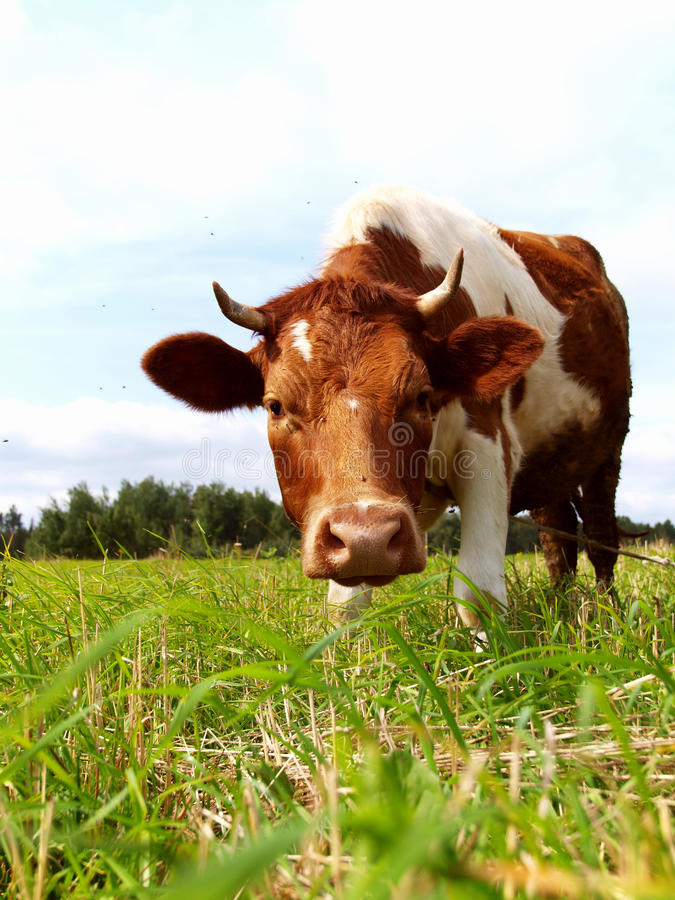 Vaca de Brown em um prado verde fotografia de stock