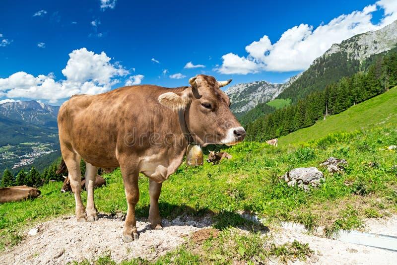 Vaca de Brown en paisaje de la montaña fotografía de archivo libre de regalías